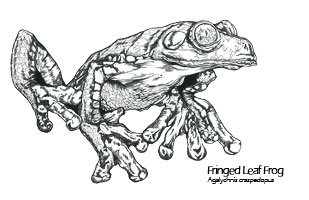 Agalychnis Cruziohyla craspedopus drawing - Agalychnis craspedopus scientific illustration