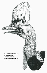 Double-wattled Cassowary drawing - Casuarius casuarius scientific illustration