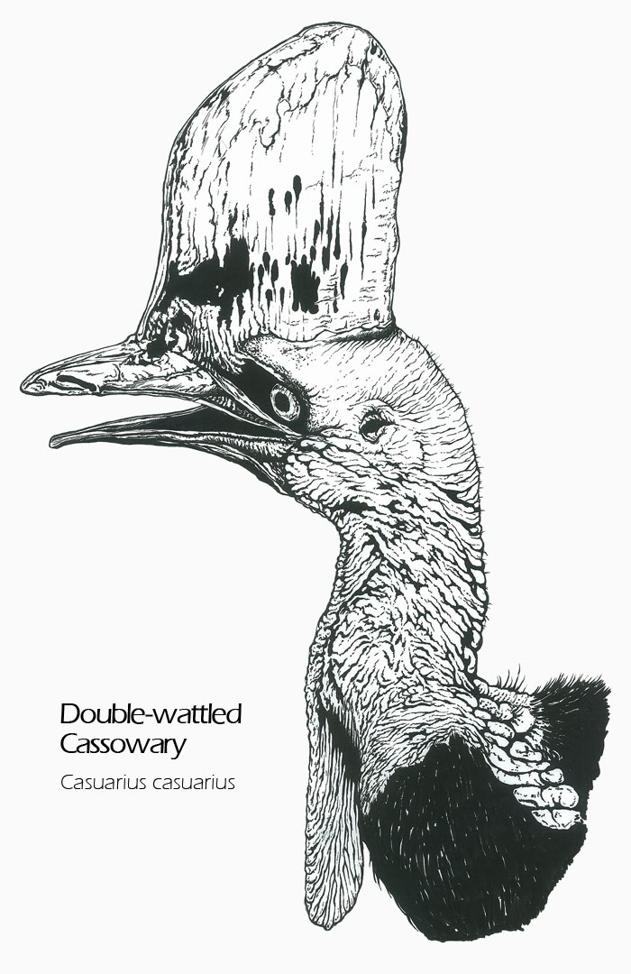 cassowary coloring pages - photo#22