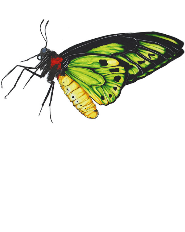 Green Birdwing butterfly drawing artwork - Ornithoptera priamus scientific illustration