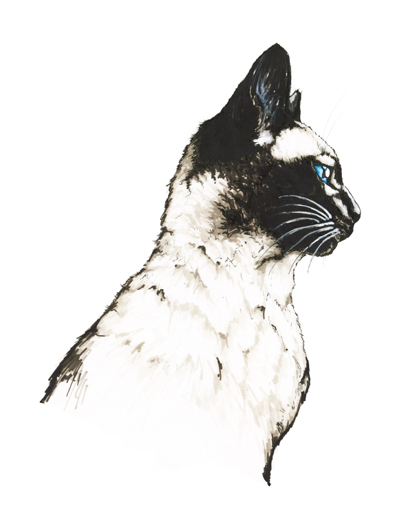Siamese Cat drawing artwork - Felis catus scientific illustration